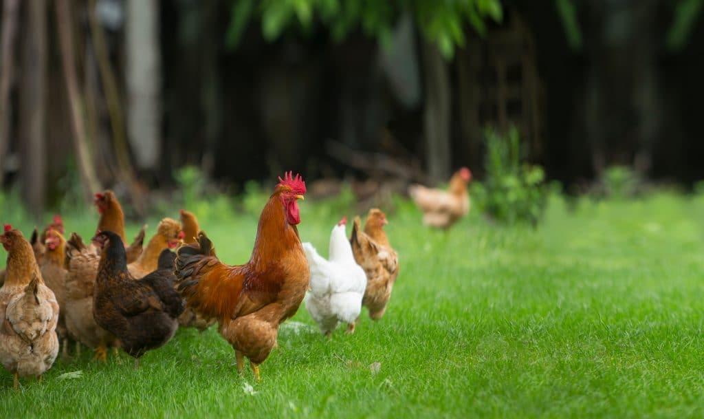 élevage poule bio